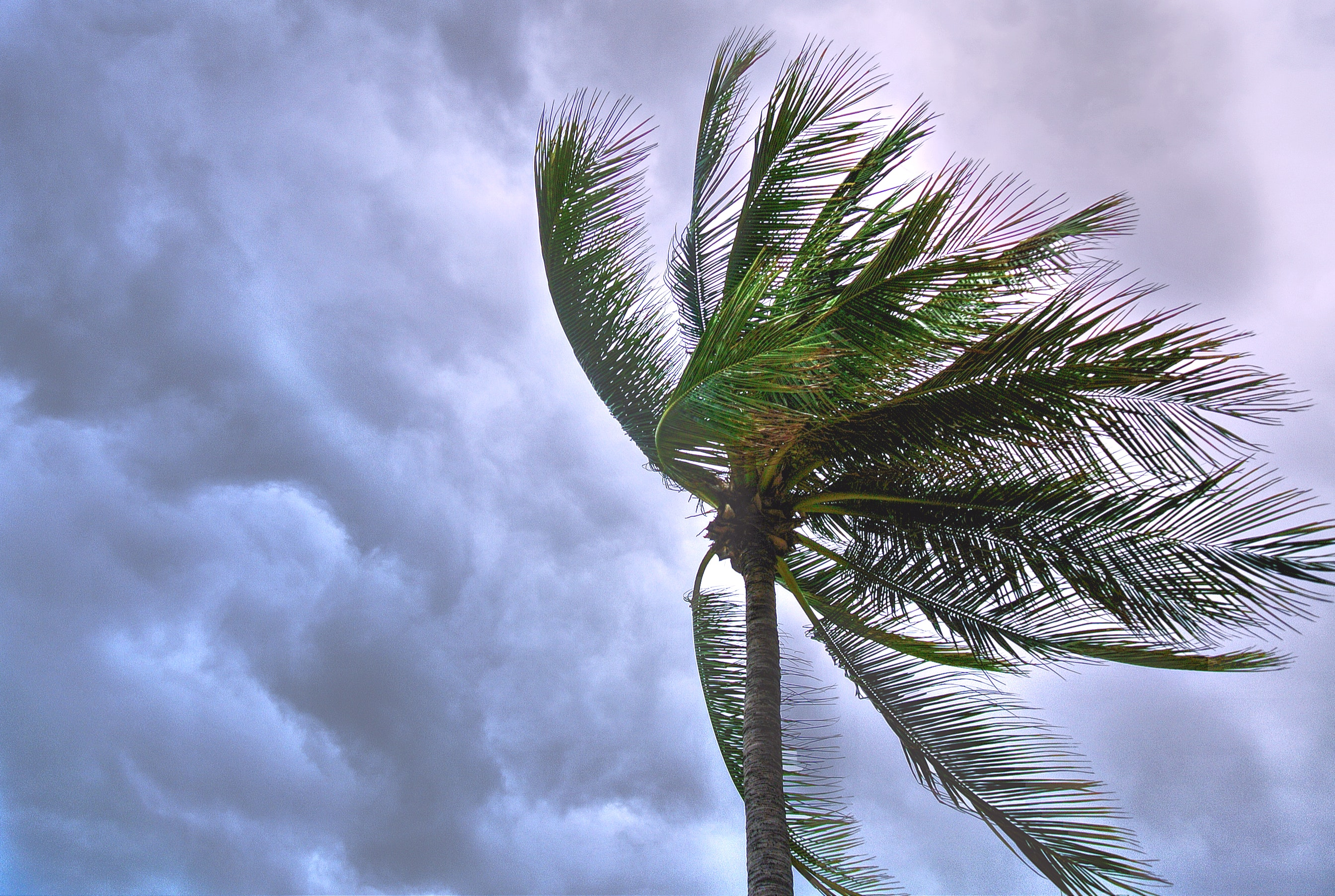 storm making coconut tree leaves sway